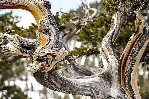 Mt Charleston Tree